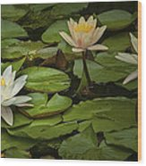Lily Pads And Blossoms. No186 Wood Print