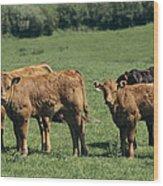 Limousin Calves Wood Print