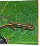 Lined Salamander 2 Wood Print