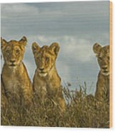 Lion Cubs Serengeti National Park Wood Print