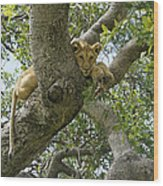 Lion Lookout Wood Print