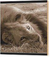 Lion Of Afrrica Wood Print