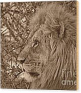 Lion Of Chobe Wood Print