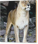 Lioness At Attention Wood Print
