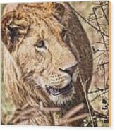 Lioness Hiding Wood Print