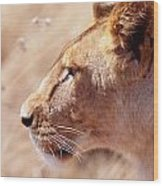Lioness Staring Intently At Passing Wood Print