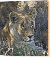 Lioness With Pride In Shade Wood Print