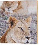 Lionesses Lying In Shade In Maasai Mara Wood Print