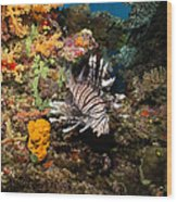 Lionfish, Fiji Wood Print