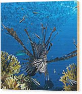 Lionfish Foraging Amongst Corals Wood Print