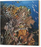 Lionfish, Indonesia Wood Print
