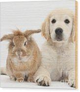 Lionhead-cross Rabbit And Golden Wood Print