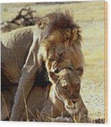 Lions Mating Wood Print