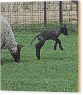 Little Lamb Playing Wood Print