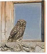 Little Owl Athene Noctua On Window Wood Print