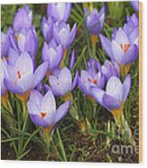 Little Purple Crocuses Wood Print