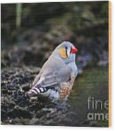 Little Red Beak Wood Print