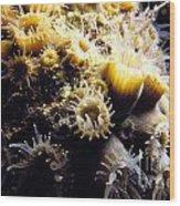 Live Coral Feeding At Night Wood Print