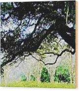 Live Oak At Capitol Lakes Park Wood Print