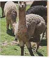 Llama On The Inca Trail Wood Print