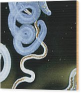 Lm Of Adult Intestinal Blood Flukes Wood Print