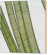 Lm Of Tubular Algae Wood Print