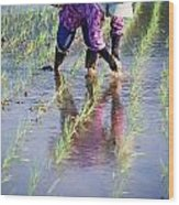 Local Planting Rice By Hand Wood Print