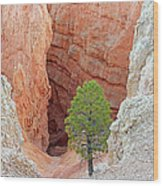 Lone Tree At Bryce National Park Wood Print