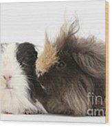 Long-haired Guinea Pigs Wood Print