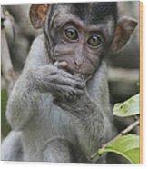 Long-tailed Macaque Macaca Fascicularis Wood Print