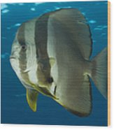 Longfin Spadefish, Papua New Guinea Wood Print by Steve Jones