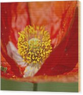 Longhorned Grasshopper Nymph On Orange Poppy Wood Print