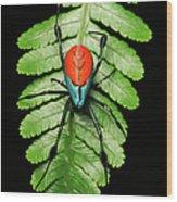 Longjawed Orb Weaver Opadometa Sp Wood Print