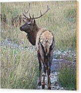 Looking Back Bull Wood Print