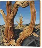 Looking Through A Bristlecone Pine Wood Print
