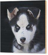 Lop Eared Siberian Husky Puppy Wood Print