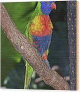Lorikeet Wood Print