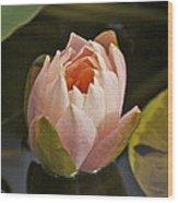 Lotus Opening 2804 Wood Print