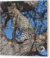 Lounging Leopard Namibia Wood Print by David Kleinsasser