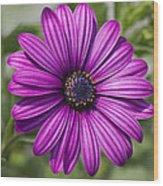 Lovely African Daisy - Osteospermum Wood Print
