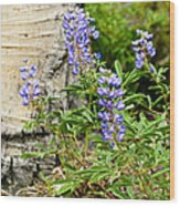 Lovely Lupine Wood Print
