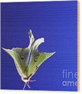 Luna Moth In Flight Wood Print