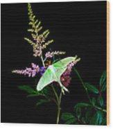 Luna Moth On Astilby Flower Wood Print