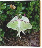 Luna Moths' Afternoon Delight Wood Print