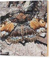 Lunate Zale Moth Wood Print
