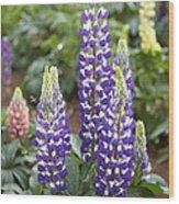 Lupine Lupinus Sp Flowers Wood Print