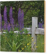 Lupines With Fence Wood Print