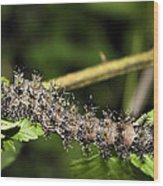 Lymantria Dispar Gypsy Moth Larva Wood Print