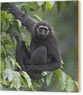 M�llers Bornean Gibbon Hylobates Wood Print