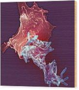 Macrophage Engulfing Tuberculosis Vaccine Wood Print